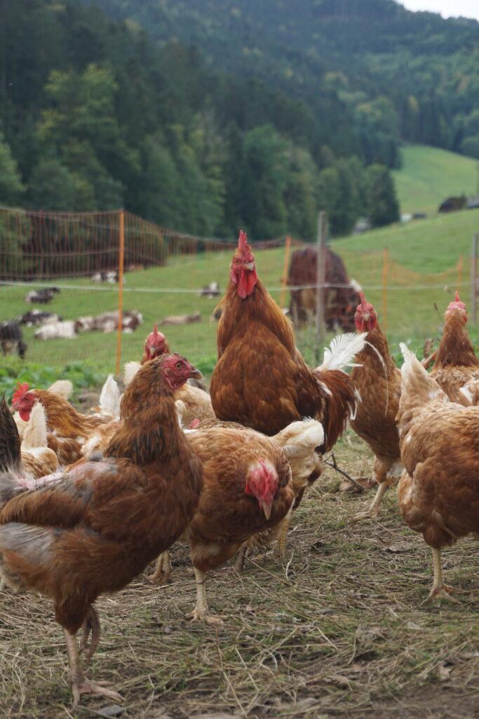 Viele fleißige Hühner,
